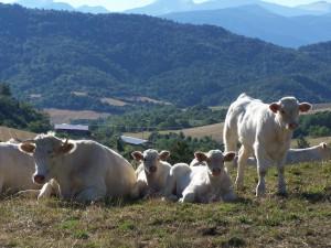 100_8955 fr koeien